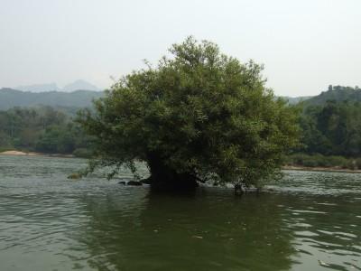 uralte Bäume im Fluss Nam Ou