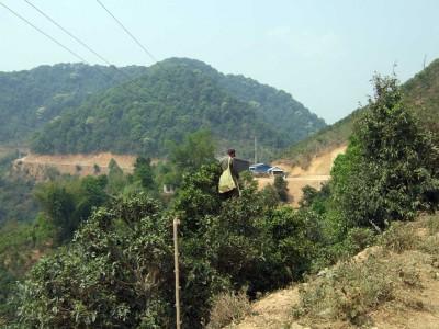 Phongsalt-Teeplantage